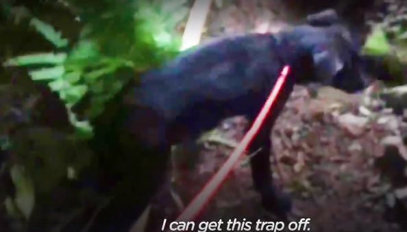Puppy stands up for rescuer trying to free his foot from a trap