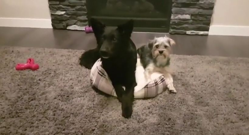 Big dog keeps stealing the dog bed — until they come up with an adorable solution