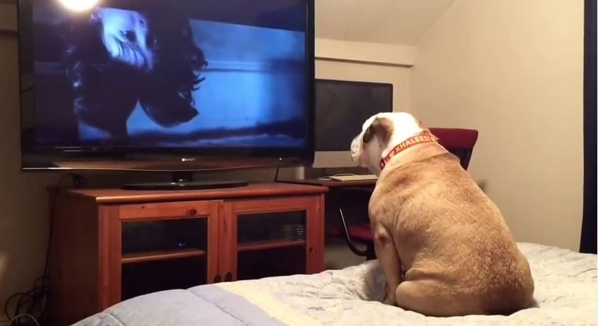 Bulldog Gets Totally Freaked Out by the Horror Movie On the Television