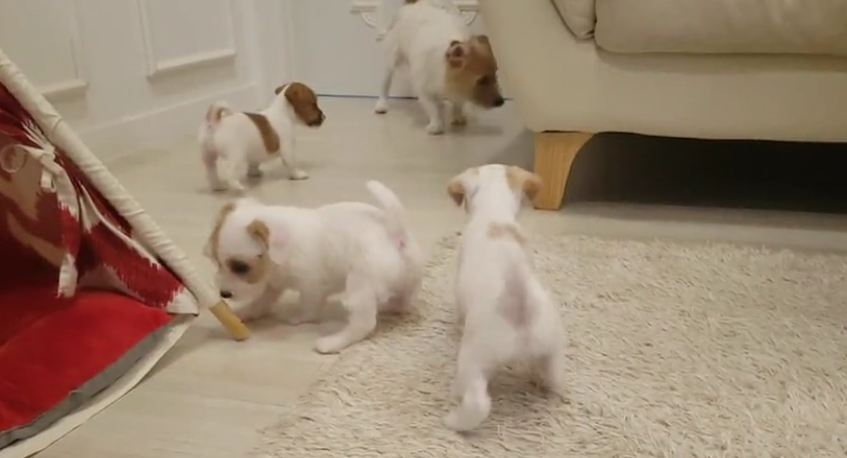 Jack Russell father's first encounter with his puppies