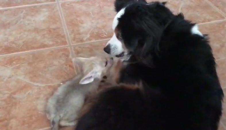 Mini Australian Shepherd plays with baby fennec fox