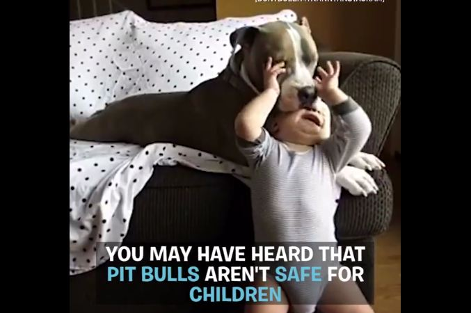 They say it's not safe to leave pit bulls around children