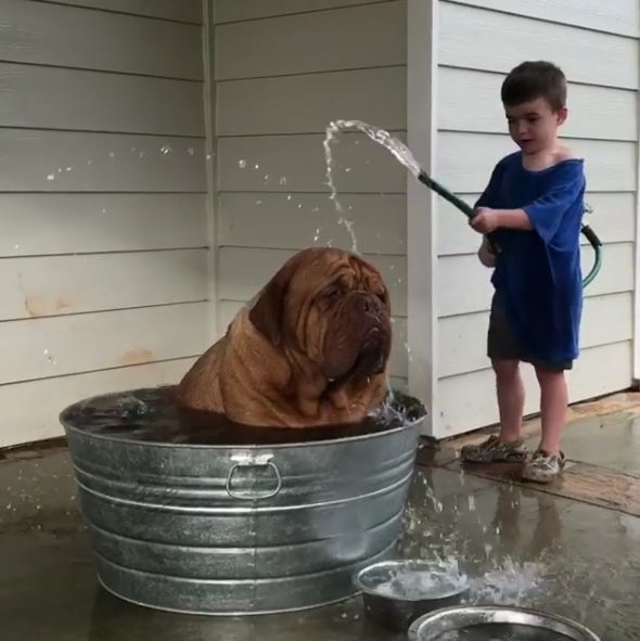 Massive Dogue de Bordeaux Loves Getting Help to Cool Off