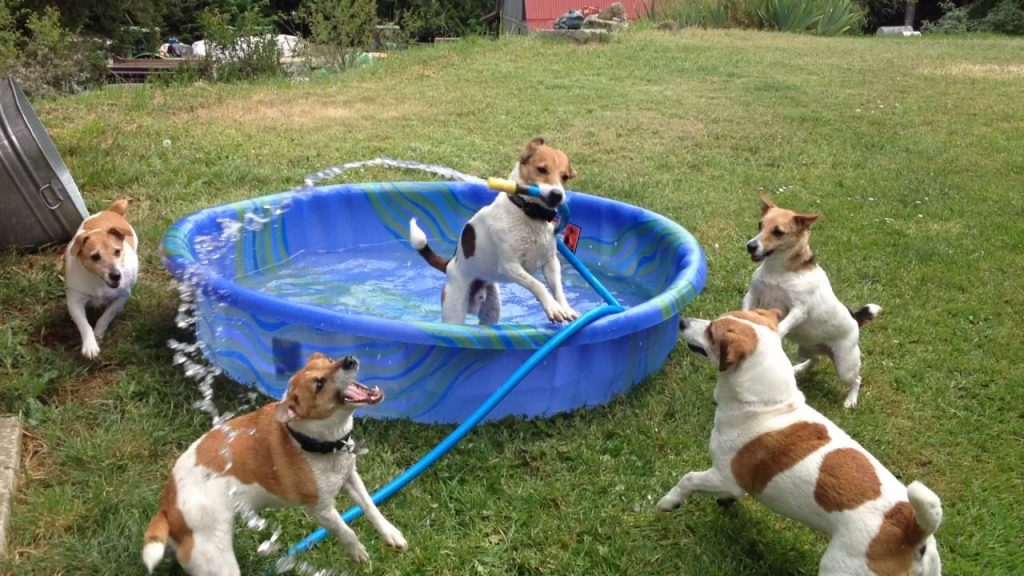 Jack Russell Terrier Adorably Splashees His Friends With Garden Hose