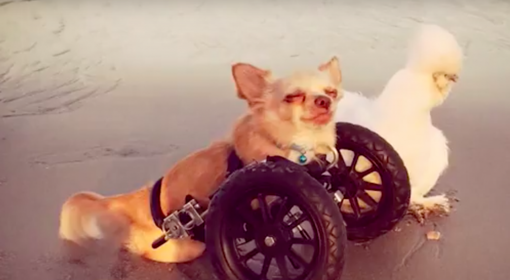 Rescue Chicken And 2-Legged Dog Best Friends Are Teaching Kids That It's Ok To Be Different