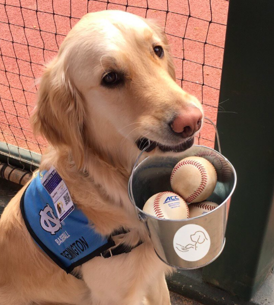 This Golden Retriever Is Part Of The UNC Baseball Team, And She Has A Very Important Job!