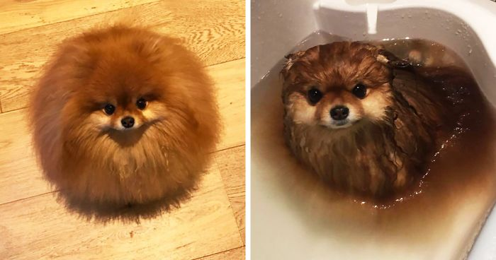 Did You Know That Pomeranians Melt In Water? This Owner Learned It The Hard Way