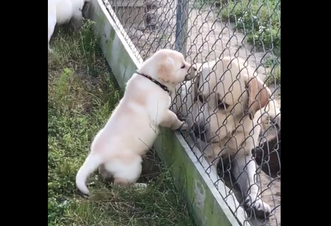 Puppy Who Just Wants to Play with Neighbor Dog Will Melt Your Face with Cuteness