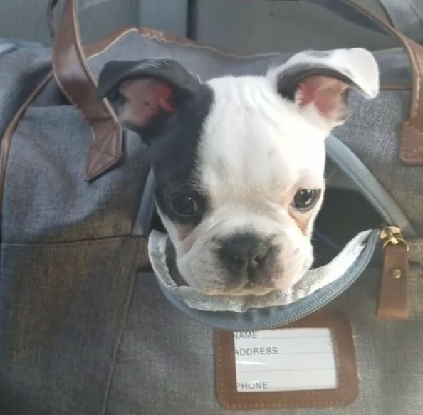 Boston Terrier Puppy Does NOT Want to Be in His Carrier Right Now