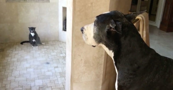 Great Dane Shows Great Manners Waiting For Cat To Finish Shower