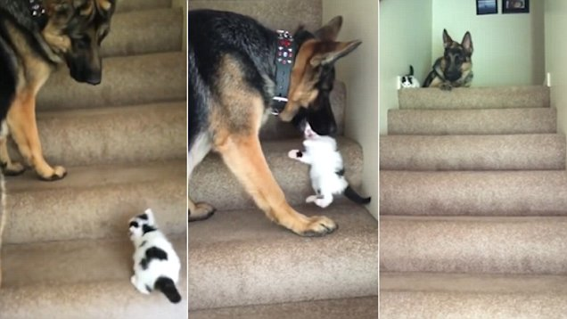 German Shepherd Dog Helps Kitten Get Up The Stairs