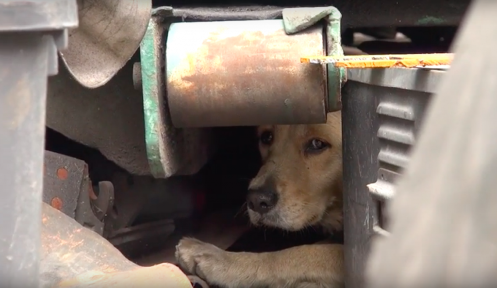 Terrified Stray Golden Covered Her Face In Fear, But Soon She Learned That They Were There To Help