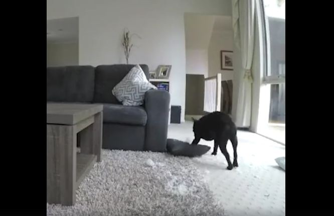 Wrecking Ball: Pillow Never Stood A Chance Against Fearsome Frenchie