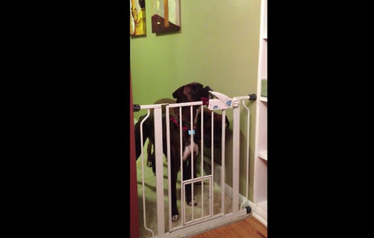 Genius dog learns how to open gate