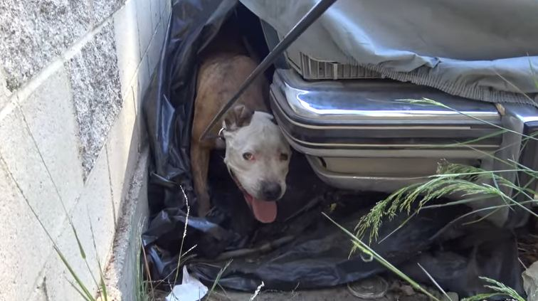 Man startled to discover a scared pit bull hiding under his car