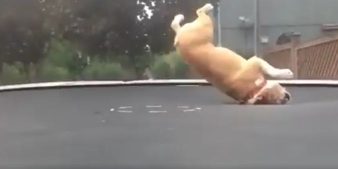 Mudd the English Bulldog Absolutely LOVES His Trampoline