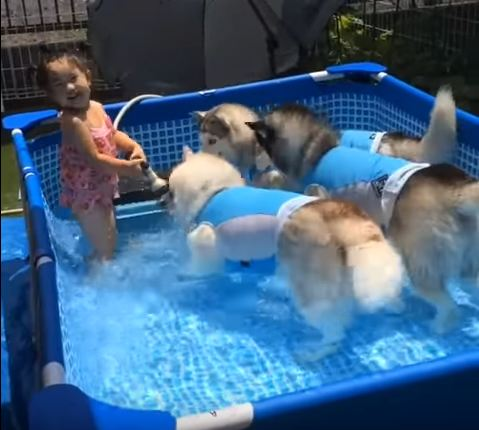 Little Girl Has Adorable Pool Party With Her Three Huskies