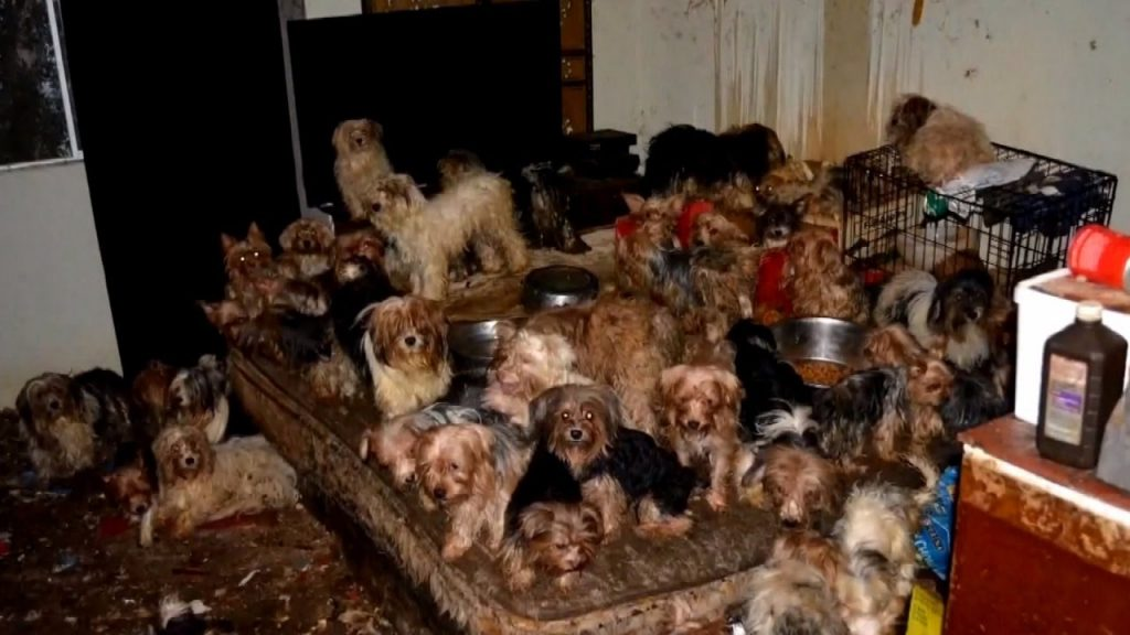 Yorkies were forced to live in the dark amongst feces and mice