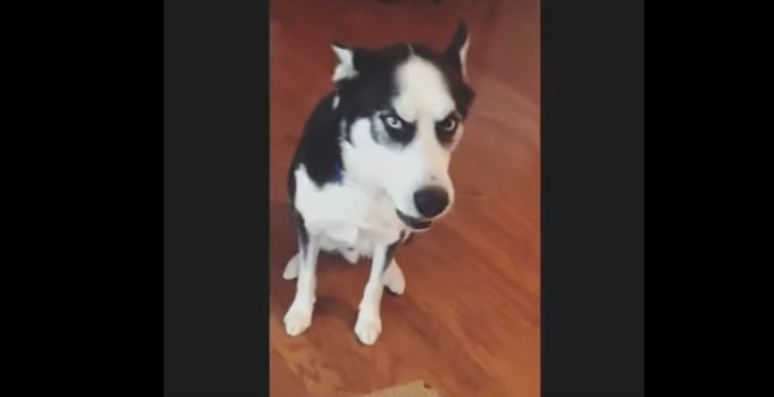 Husky Refuses to Accept Responsibility for a Chewed-Up Box of Car Parts