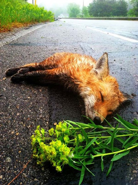 Man sees a dead fox lying in the street — but when he returns, his heartbreak begins to fade