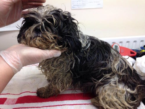Dog Who Was Almost Too Matted To Move Gets A Haircut & A Forever Home