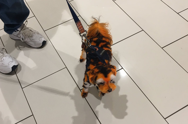 Auburn Fan Dyes Dog To Look Like Tiger