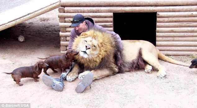 Wiener dogs face off with giant lion, and the lion's next move is really something