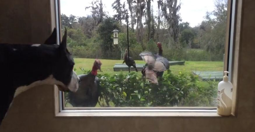 Unsuspecting Turkeys Get Startled By Great Dane