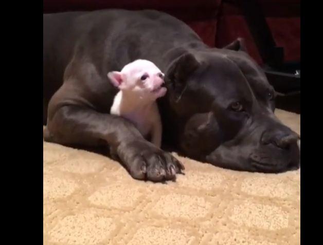 Larger Dog Preciously Protects Tiny Puppy