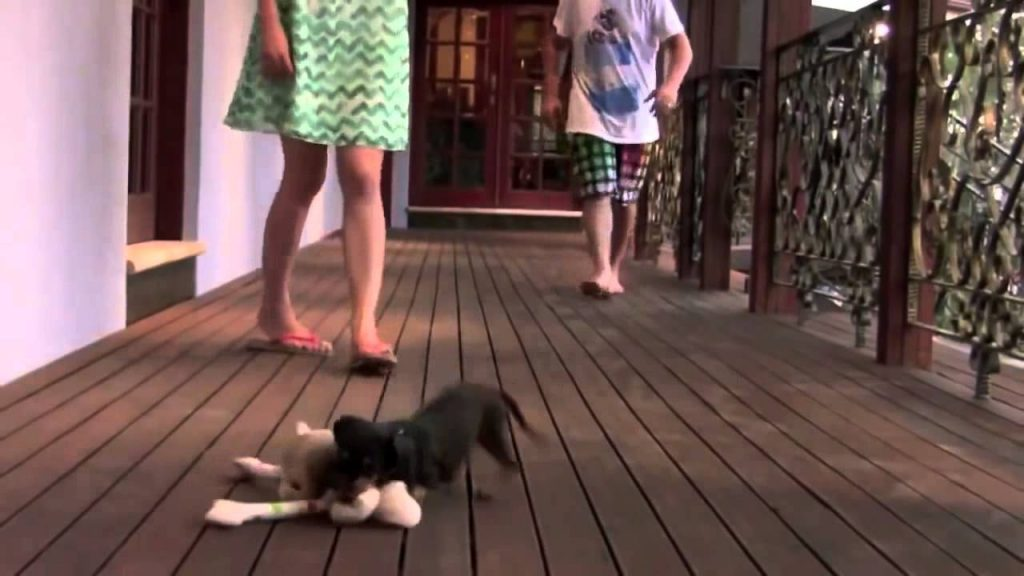 The cute little puppy that protects the owner