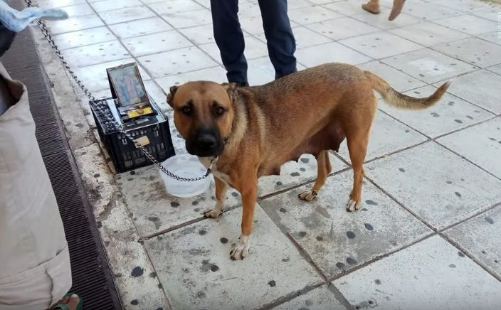 Street beggar seen using and abusing pregnant dog while asking for money