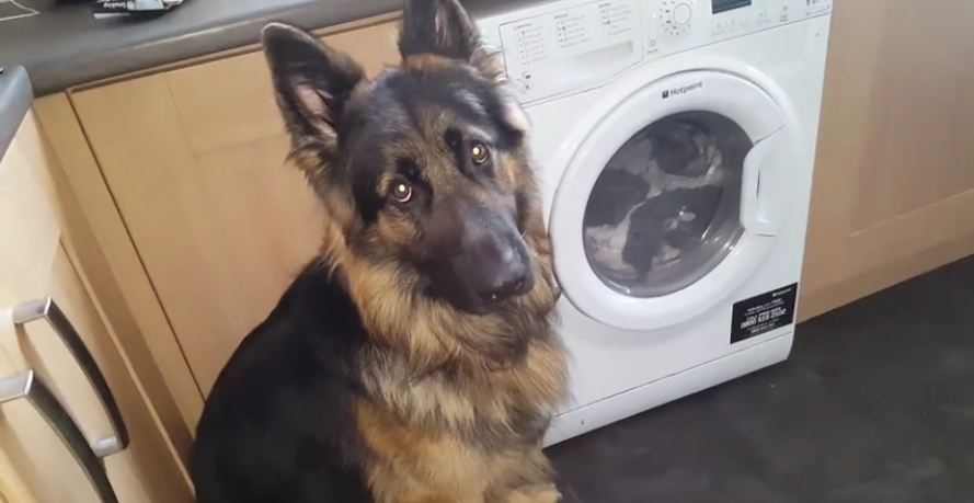 Guilty dog refuses to make eye contact when approached about the mess he made