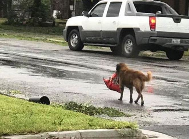 Smart Dog Makes Off With Bag Of Dog Food After Hurricane Harvey