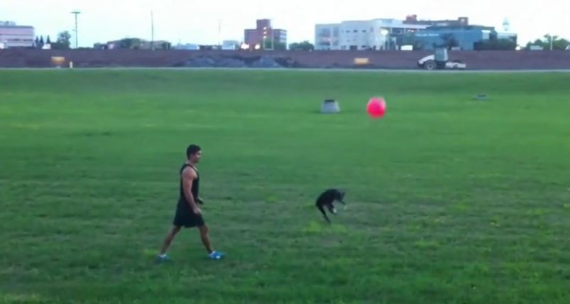 Boston Terrier expertly plays with a balloon