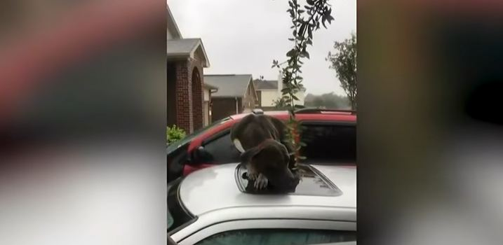 Rescuers Approach Pit Bull On Top Of Flooded Car, Realize He's Too Scared To Accept Help