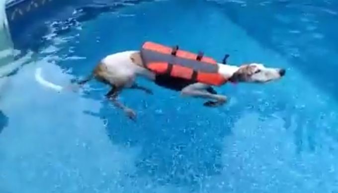 This Retired Greyhound Is Just Gonna Float Because Why Swim?