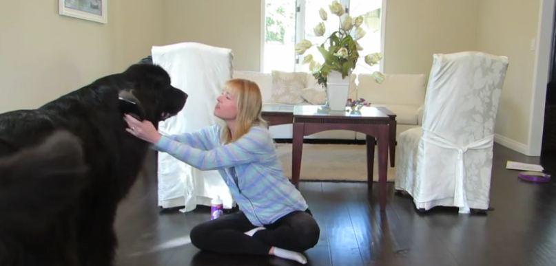 Adorable Newfoundland Dog Isn't Too Happy When It Comes To Brushing His Fur
