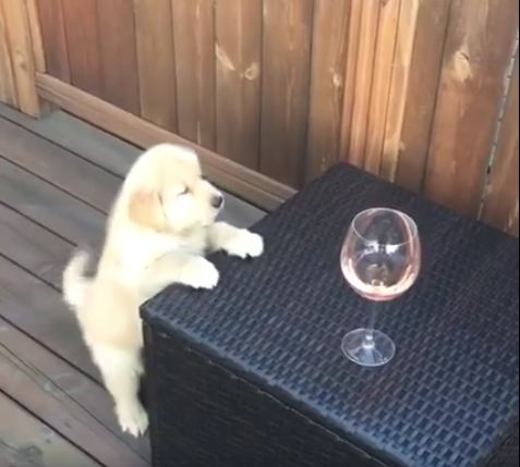 "Whine O'Clock: Adorable Golden Pup Is Ready For ""Yappy Hour!"""
