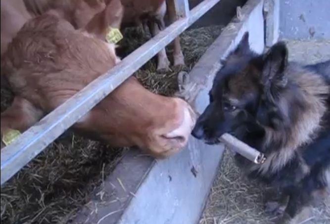 Cow Gives Dog a Bath!