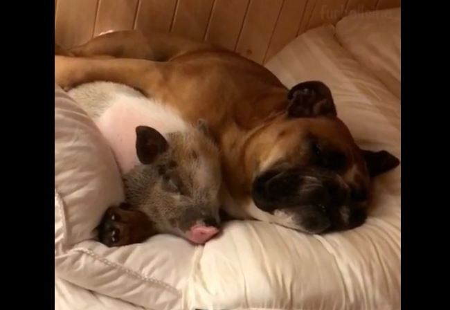 Heart-melting cuddle time between dog and pig