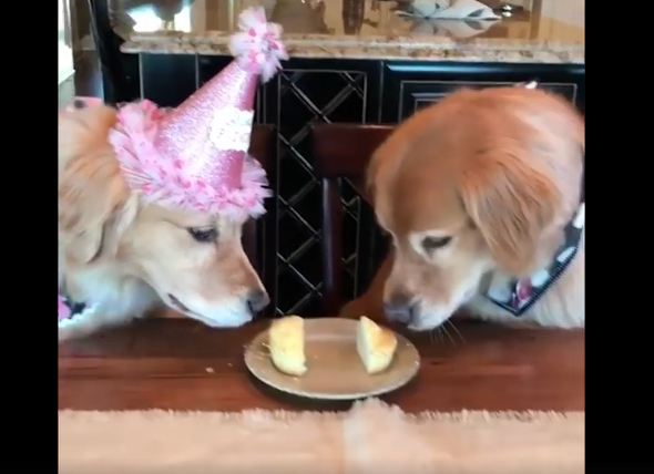 Sneaky Golden Retreiver Steals His Sister's Birthday Pupcake