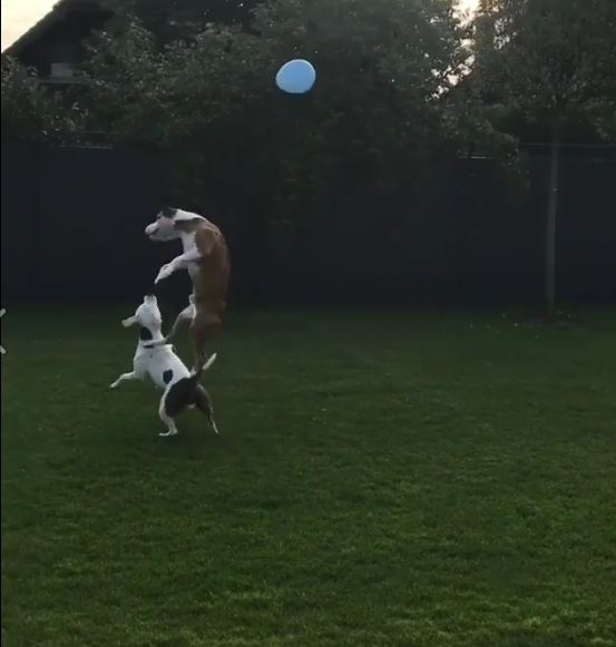 Pitbulls Play Gently With a Balloon in Soothing Little Video