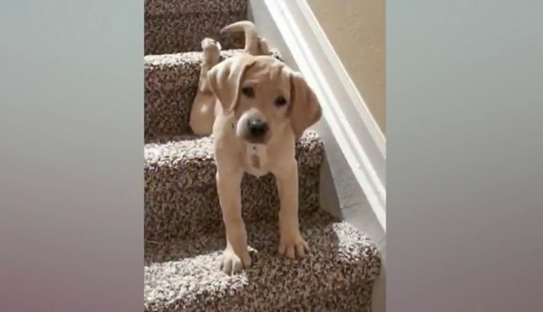 Floppy Puppy Keeps on Trying to Conquer Stairs in Adorable