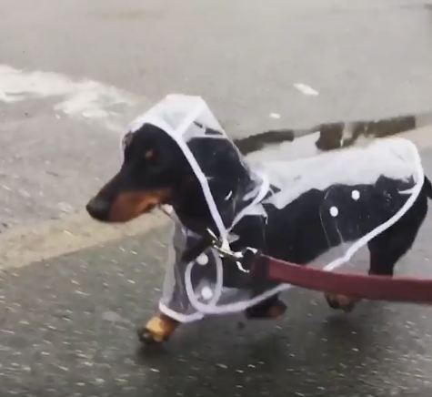 Weenie in a Raincoat!