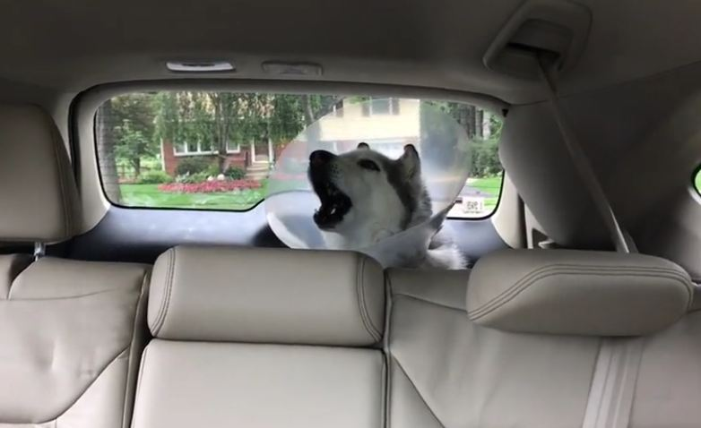 Husky howls in protest after spending all day at the vet