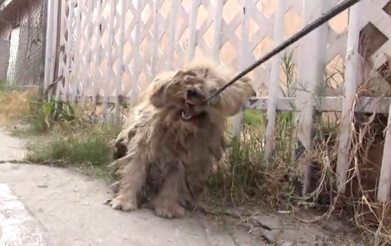 He'd Never Been Touched By A Human, But Watch When They Start To Shave Him