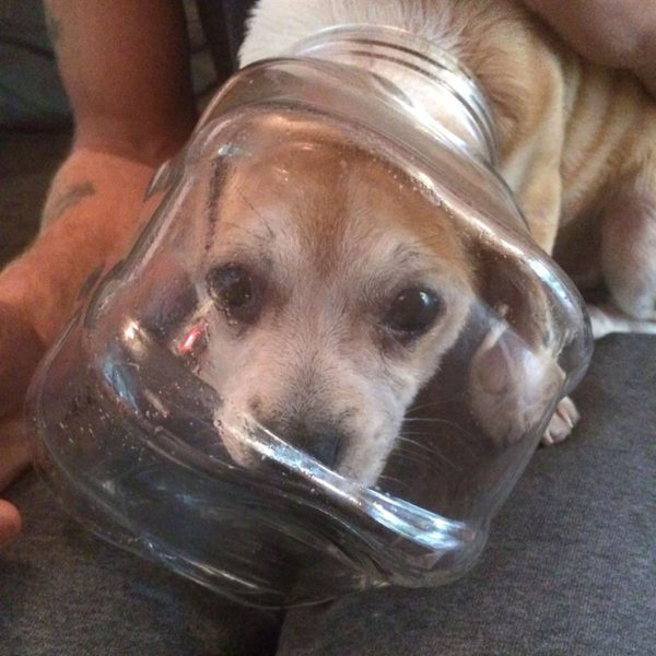 Tough cookie Buddy: Pup gets head caught in jar licking crumbs