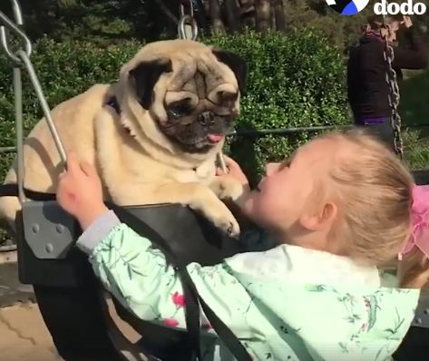 Little Girl Loves Her Pugs, But Talulahbelle's Her Special Senior