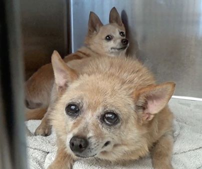 Owner dumps 15-year-old Poms 'Chucky and Milo' at crowded shelter
