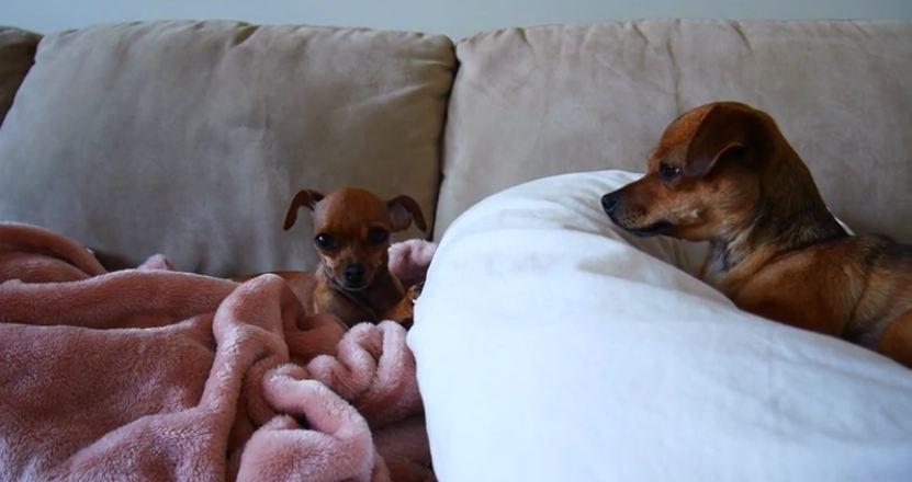 Super Talkative Chihuahua Annoys Her Sister